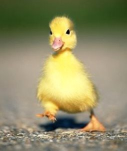Duck Waddle  Waddling Duck